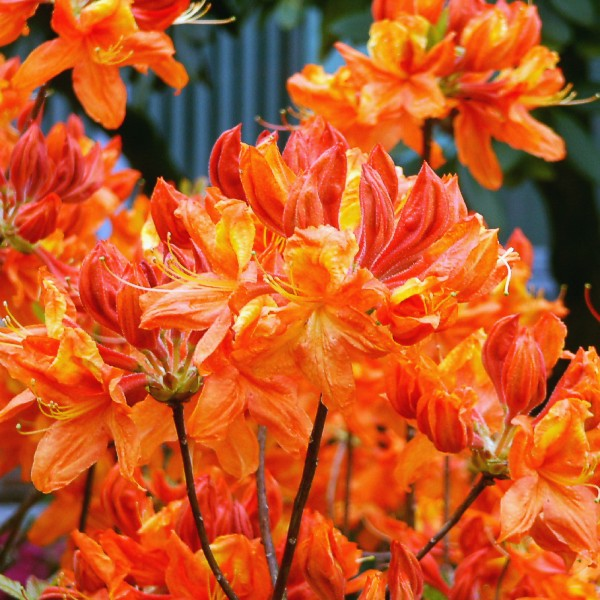 Rhododendron Knap Hill Glowing Embers