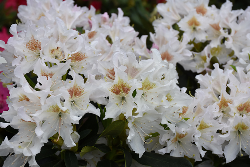 Rododendron Cunningam`s White